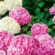 hortensja biała i różowa